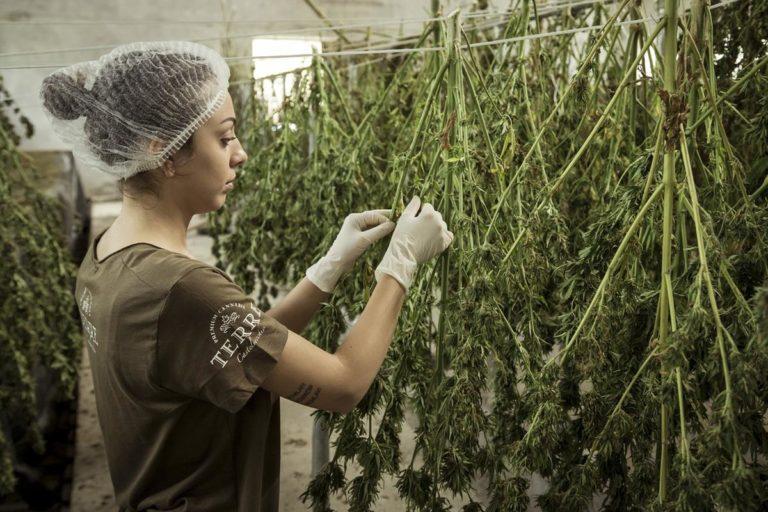 Rodzaje nasion marihuany
